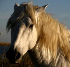 cheval camargue.jpg